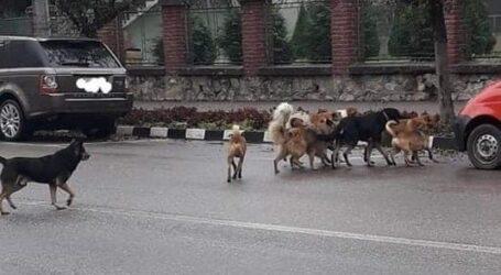 Jiboul, invadat de câini fără stăpân. Reacția FERMĂ a primarului Dan Ghiurco