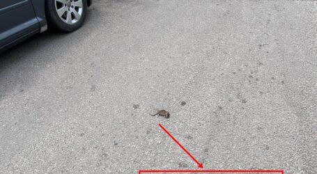 """Șobolani în centrul Zalăului! Rozătoarele au """"răsărit"""" din iarba pe care Citadin a uitat să o cosească"""