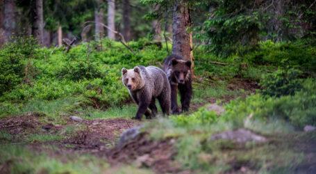 Autoritățile informează: au apărut urși în pădurile de pe Valea Someșului