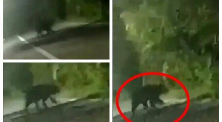 VIDEO. Urs filmat azi-noapte în mijlocul unui sat, în apropiere de Jibou