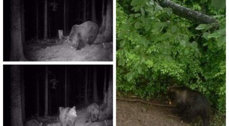 FOTO. 3 urși au omorât un ponei în comuna Buciumi
