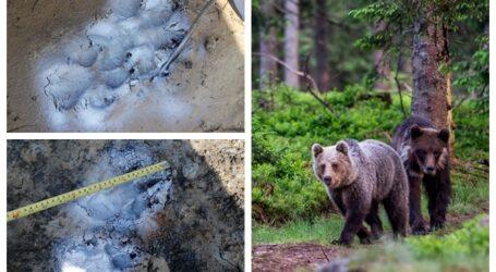 ATENȚIE! Vânătorii confirmă: au apărut urși în zona Moigrad-Porolissum