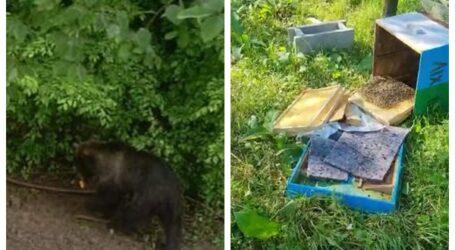 VIDEO. Un urs a distrus mai mulți stupi de albine din comuna Năpradea. Ce spun autoritățile din comună
