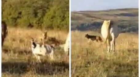 VIDEO. Un lup a atacat o turmă de vaci și capre din comuna Sâg